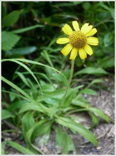 高山植物5