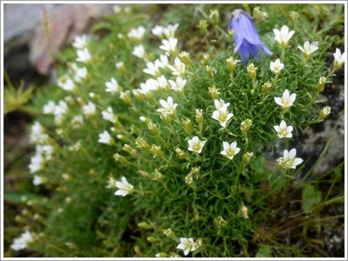 高山植物15