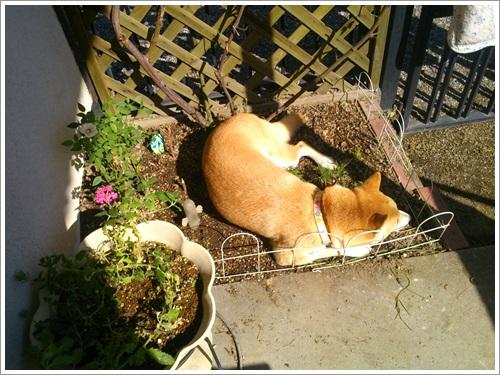 花壇で寝る2