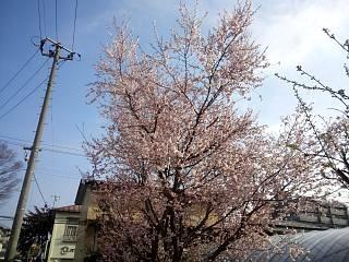 20130405郡山の桜