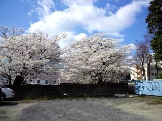 20130413桜(その1)