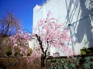 20130413桜(その6)