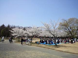 開成山公園・大神宮の桜(その1)