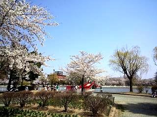 開成山公園・大神宮の桜(その3)