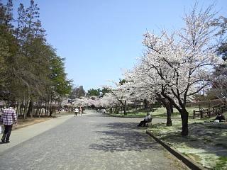 開成山公園・大神宮の桜(その8)