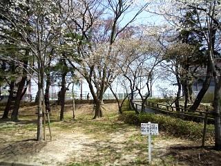 開成山公園・大神宮の桜(その10)