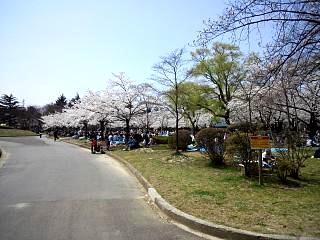 開成山公園・大神宮の桜(その12)