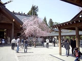 開成山公園・大神宮の桜(その21)