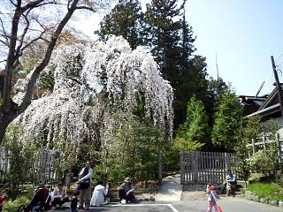 開成山公園・大神宮の桜(その25)