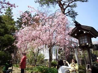 開成山公園・大神宮の桜(その26)