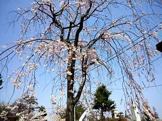 開成山公園・大神宮の桜(その27)
