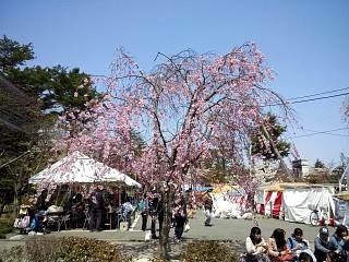 開成山公園・大神宮の桜(その28)