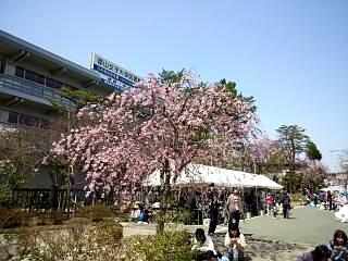 開成山公園・大神宮の桜(その29)