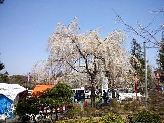 開成山公園・大神宮の桜(その32)