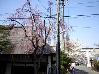 開成山公園・大神宮の桜(その34)