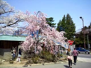 開成山公園・大神宮の桜(その36)