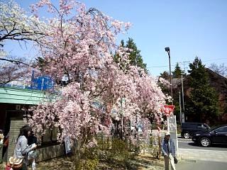 開成山公園・大神宮の桜(その37)