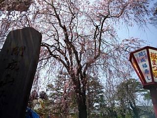 開成山公園・大神宮の桜(その39)