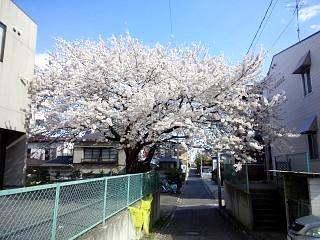 20130415桜(その1)