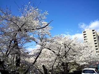 20130415桜(その2)