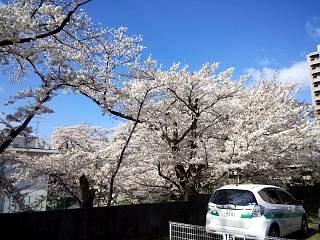 20130415桜(その3)