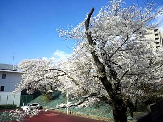 20130415桜(その4)