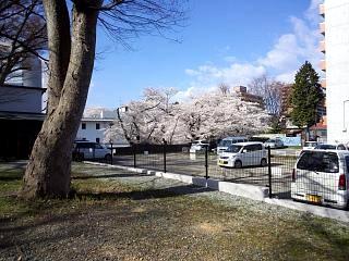 20130415桜(その5)