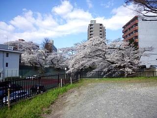 20130415桜(その6)