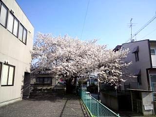 通勤路の桜(その1)
