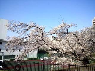 通勤路の桜(その2)
