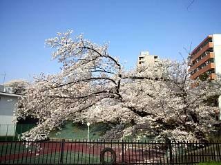 通勤路の桜(その3)