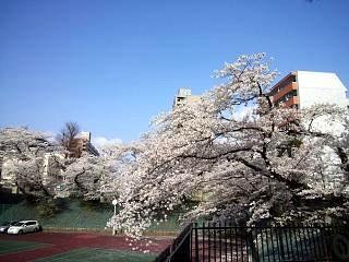 通勤路の桜(その4)