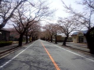 夜の森桜(その1)