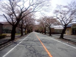 夜の森桜(その4)