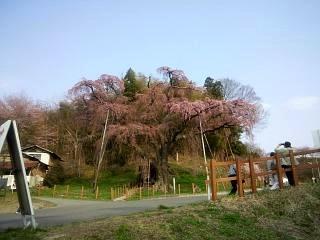 紅枝垂地蔵堂桜(その2)
