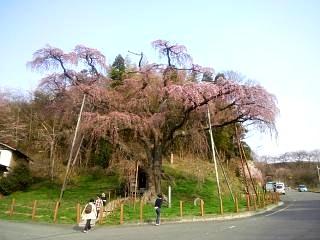 紅枝垂地蔵堂桜(その3)