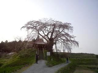 弘法桜(その1)