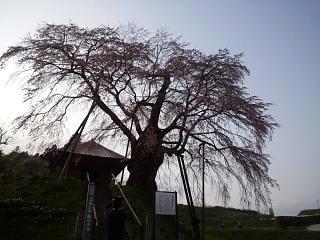 弘法桜(その2)