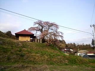 弘法桜(その3)