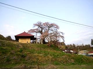 弘法桜(その4)
