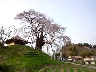 弘法桜(その6)
