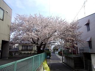 20130417桜(その1)
