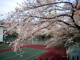 20130417桜(その4)