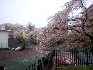 20130418桜