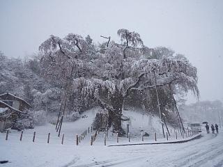 20130421紅枝垂地蔵堂桜(その2)