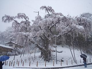 20130421紅枝垂地蔵堂桜(その3)