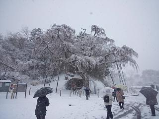 20130421紅枝垂地蔵堂桜(その4)