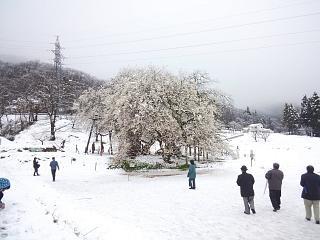 20130421石部桜(その3)