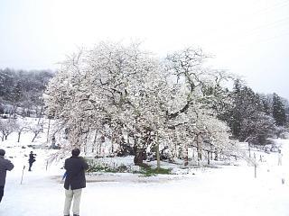 20130421石部桜(その4)