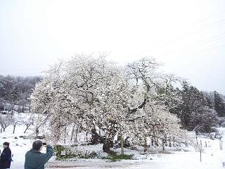 20130421石部桜(その5)